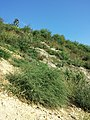 Bassia scoparia subsp. densiflora sl44.jpg