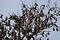 Bat in the tree at Boga Lake, Bangladesh.JPG