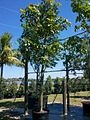 Bauhinia Tomentosa (St. Thomas Tree, Yellow Bauhinia) (28260566413).jpg