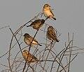 Baya Weaver (Ploceus philippinus) in Hyderabad W IMG 4824.jpg