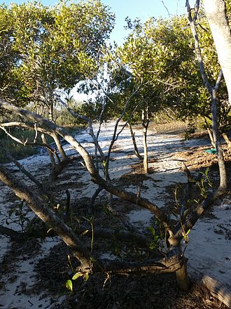 Beachmere, Queensland - The sandy beach among the mangroves