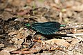 Beautiful Demoiselle - Calopteryx virgo (41486948605).jpg