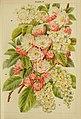 Beautiful flowering trees and shrubs for British and Irish gardens (1903) (20170717940).jpg