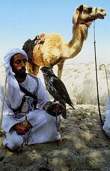 Bedouin falconer with camel.