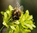 Bee (253761245).jpeg