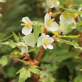 Begonia dregei-IMG 4453.jpg