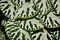 Begonia imperialis (3073318030).jpg
