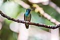 Beija-flor-de-banda-branca (Amazilia versicolor) - Versicolored Emerald.jpg