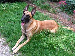 Belgian Shepherd Malinois grass.jpg