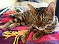 Bengal Cat (Fia).jpg