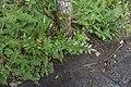 Berberis aquifolium 114270919.jpg