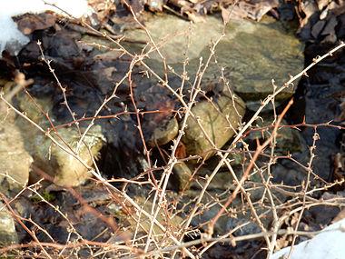 Berberis thunbergii SCA-0178.jpg