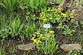 Berlin-Dahlem, botanical garden, Caltha palustris.jpg