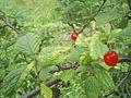 Berries and leaves of Prunus Cerasus tomentosa.jpg