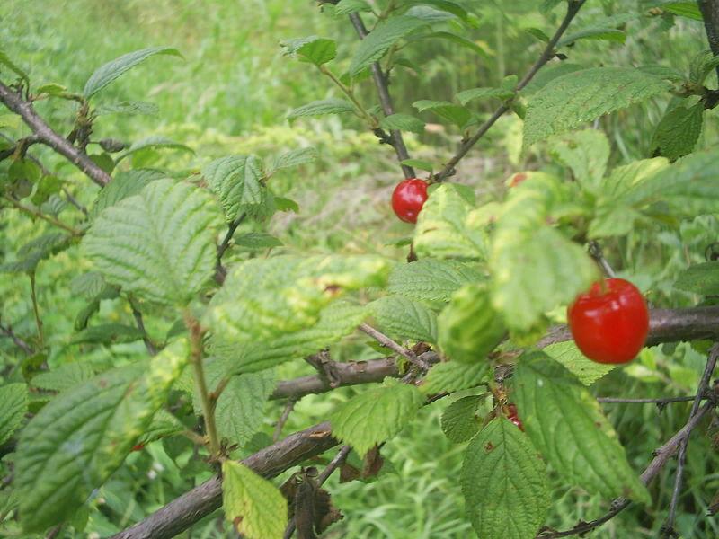 feuilles et fruits du ragouminier