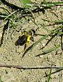 Berry abeille fouisseuse 04027.jpg