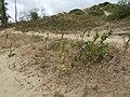 Bestand von Oenothera erythrosepala - Große Nachtkerze - Grote teunisbloem - l'Onagre à sépales striés de rouge - Evening Primrose.JPG