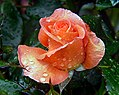 Betty Harknes.Rose. (20394839349).jpg