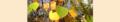 Betula pendula. Reader.png