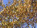 Betula pendula (fall foliage).jpg
