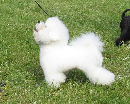 Bichon Frise Moletai May 2014