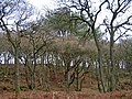 Big Pine in Oakbank Wood - geograph.org.uk - 1280391.jpg