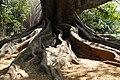 Big Tree Ancient 200 Years Old Bangalore (48186335536).jpg