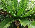 Bird's-nest fern.jpg