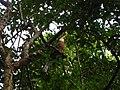 Bird White throated Brown Hornbill Anorrhinus austeni IMG 8142 08.jpg