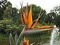 Bird of paradise (Strelitzia reginae) 01.jpg