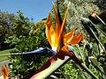 Bird of paradise (Strelitzia reginae) 02.jpg
