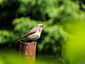 Bird on pipe (14603050652).jpg
