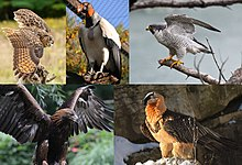 Montage of extant raptors. From top left to right: eurasian eagle-owl, king vulture, peregrine falcon, golden eagle and bearded vulture