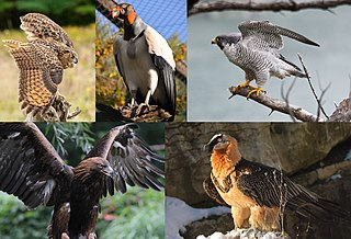 Bird of prey any species of bird that primarily hunt and feed on relatively large vertebrates