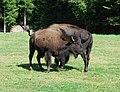 Bison bison - Juraparc, Vallorbe, Vaud, Switzerland - 20090822 - 02.jpg