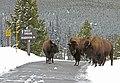 Bison on road near Old Faithful (657ec173-47c7-4fab-b38a-77b4b24c2d6d).jpg