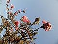 Blühender Zierstrauch im Januar - panoramio.jpg