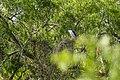 Black-crowned night-heron (46826365585).jpg