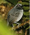 Black-faced Antbird.jpg