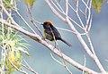 Black-faced Brush-Finch (Atlapetes melanolaemus) (9499623126).jpg