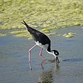 Black-necked Stilt (34802058631).jpg