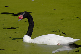 WWT London Wetland Centre - Image: Black necked swan 745r