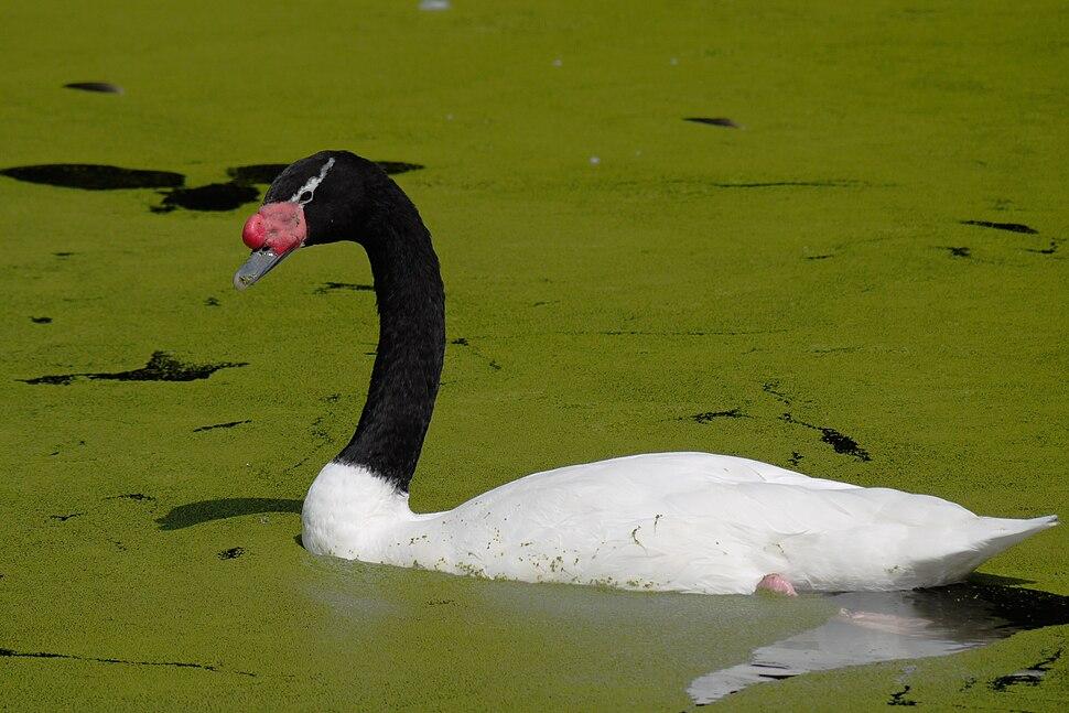Black-necked swan 745r