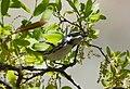 Black-throated Gray Warbler (33673209130).jpg