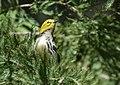 Black-throated Green Warbler (37773215802).jpg