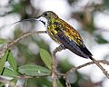 Black-throated Mango (Anthracothorax nigricollis)-4.jpg