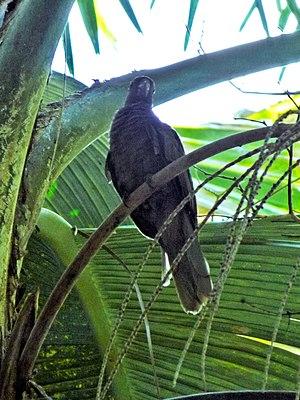Seychelles black parrot - Observation of the black parrot in Vallée De Mai (Praslin, March 2016)