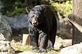 Black Bear - Head On (10683146216).jpg