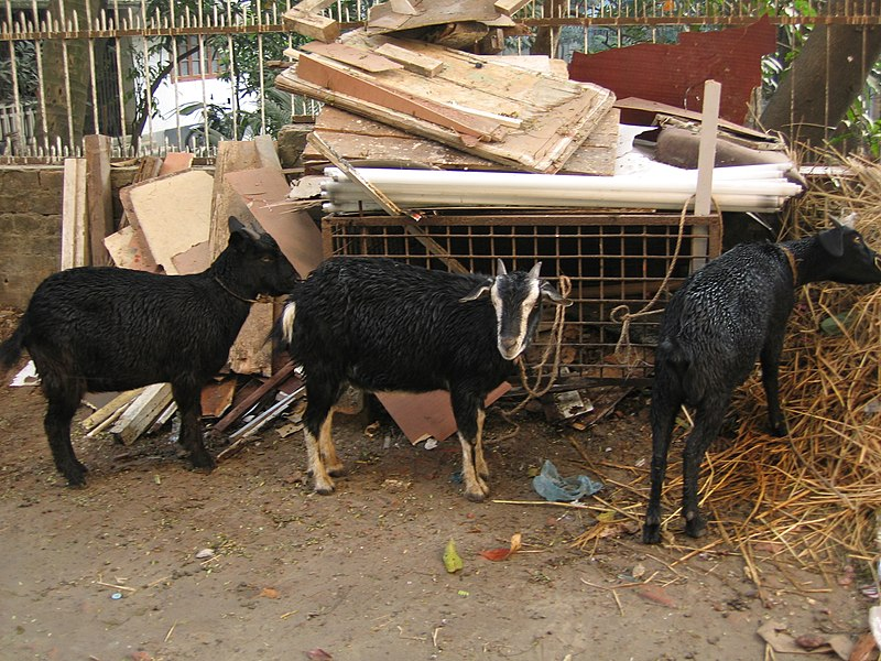 File:Black Bengal goats for Eid ul Adha.jpg