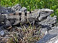 Black Iguana (Ctenosaura similis) (6789110923).jpg